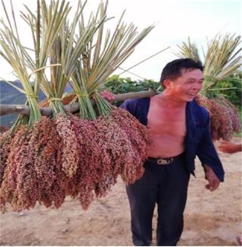 贞丰鲁贡:高粱种植促产业结构调整再上新台阶